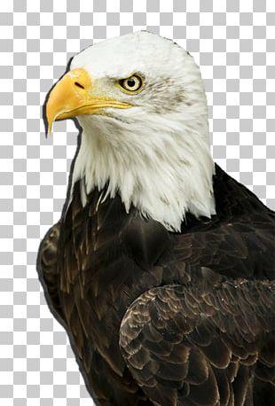 Bird Of Prey Bald Eagle Goose Duck PNG