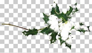 Ilex Crenata Plant Christmas Holiday Holly PNG