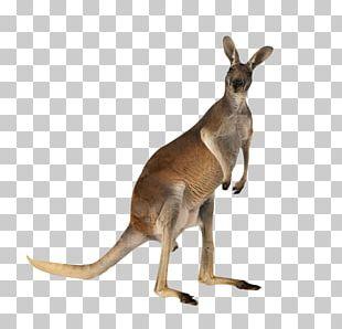 Kangaroo Meat Australian-English PNG