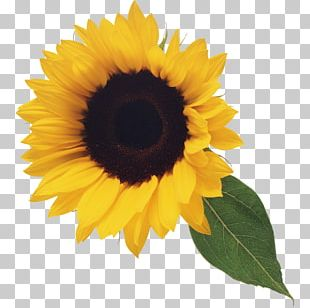 Portable Network Graphics Common Sunflower Computer Icons PNG