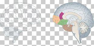 Neuroplasticity Brain Nervous System Agy Neuron PNG