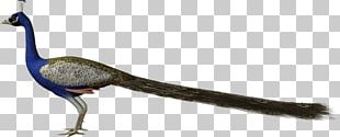 Phasianidae Bird Beak Feather Pavo PNG