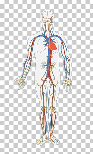 Circulatory System Human Body Blood Vessel Organ System PNG