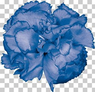 Blue Rose Garden Roses Cabbage Rose Carnation Cut Flowers PNG