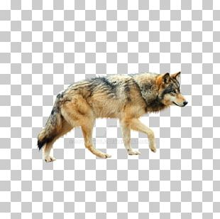 Dog Coyote Mexican Wolf Tundra Wolf Red Wolf PNG