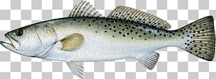 Spotted Seatrout Weakfish Sea Trout Cynoscion Arenarius PNG
