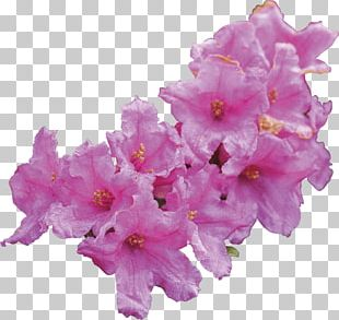 Rhododendron Ferrugineum Stem Cell Cell Culture Leaf PNG