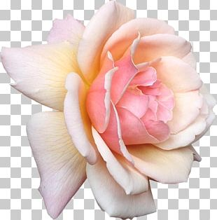 Rose Flower Pink White PNG