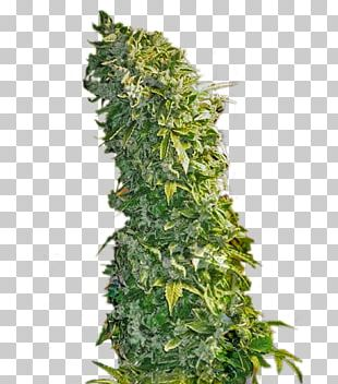 Feminized Cannabis Seed Plant Skunk PNG