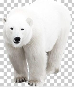 Polar Bear Arctic PNG
