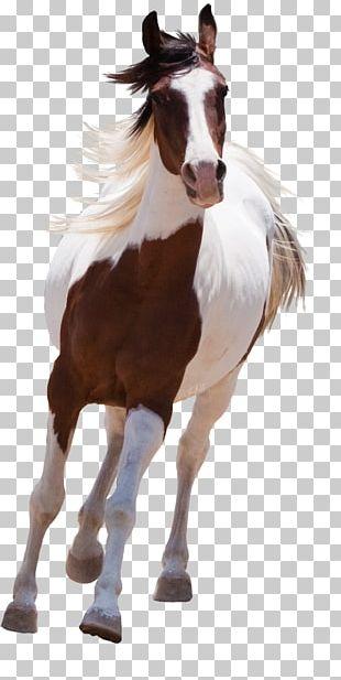 Arabian Horse American Paint Horse PNG