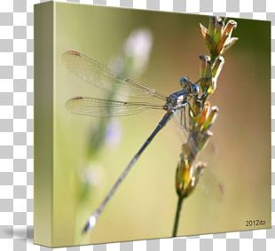 Dragonfly Damselflies Insect Macro Photography PNG