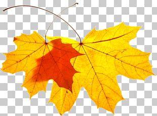 Maple Leaf Plane Trees Plane Tree Family PNG
