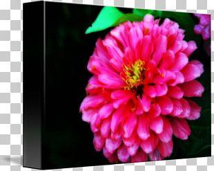 Dahlia Chrysanthemum Peony Annual Plant PNG