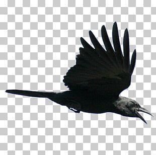 American Crow Fly Bird Rook Flight PNG