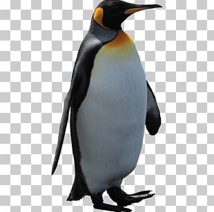 King Penguin Neck Fauna Beak PNG