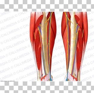 Muscle Nerve Nervous System Blood Vessel Circulatory System PNG