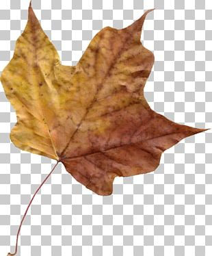 Maple Leaf Autumn Leaf Color Photography PNG