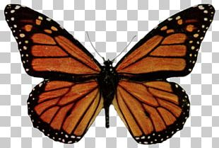 Monarch Butterfly Millions Of Monarchs Viceroy Milkweed PNG