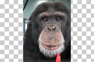 Common Chimpanzee Gorilla Primate Siamang Monkey PNG