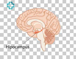Ear Homo Sapiens Brain PNG