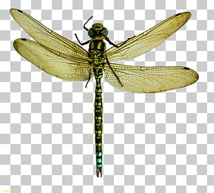 A Dragonfly? Insect Wing Pterygota What Is An Insect? PNG