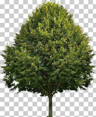 Red Maple Portia Tree Sugar Maple Oak PNG