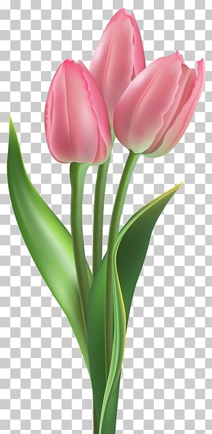 Tulip Flower Pink PNG