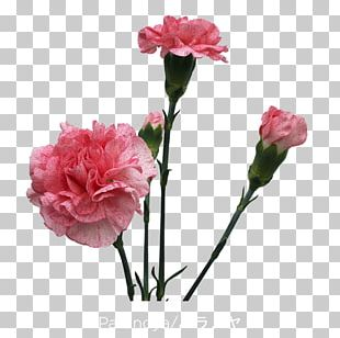 Garden Roses Carnation Cut Flowers Cabbage Rose PNG
