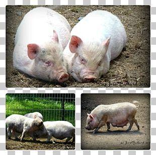 Domestic Pig Snout PNG