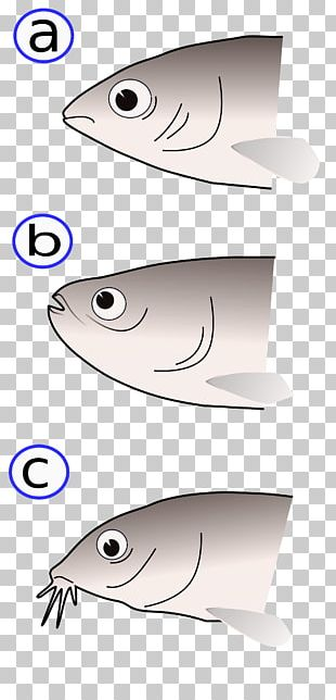 Bony Fishes Fish Anatomy Fischmaul PNG