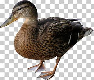 Duck Mallard Bird Goose PNG