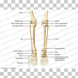 Thumb Bone Human Anatomy Human Skeleton PNG