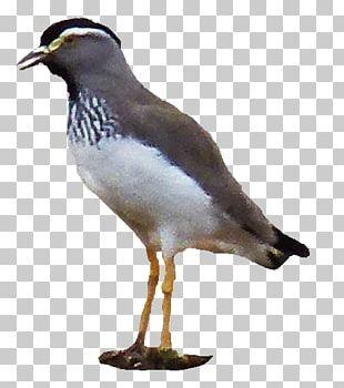 Gulls Water Bird Wader Beak PNG