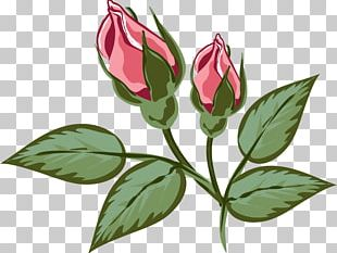 Flower Rose Family Illustration Red PNG