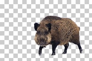 Wild Boar Game Cat S60 PNG