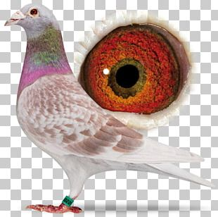 Racing Homer Columbidae Homing Pigeon Bird American Show Racer PNG