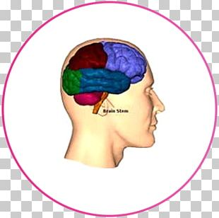 Lobes Of The Brain Frontal Lobe Injury Occipital Lobe PNG