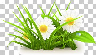 Common Daisy PNG