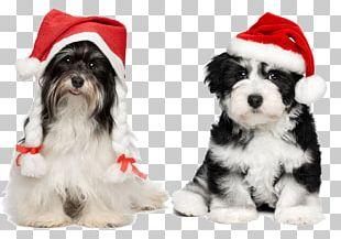 Havanese Chihuahua Santa Claus Puppy Christmas PNG