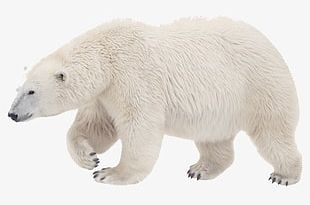 Polar Bear PNG