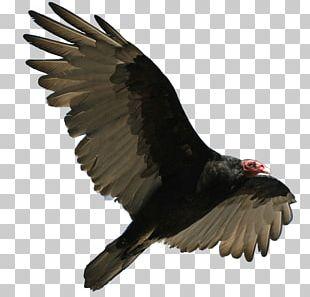 Turkey Vulture Flying PNG