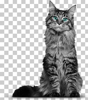 Maine Coon Whiskers Domestic Short-haired Cat Kitten Black Cat PNG