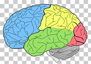 Lobes Of The Brain Frontal Lobe Temporal Lobe Occipital Lobe PNG