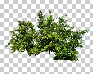 Shrub Tree PNG