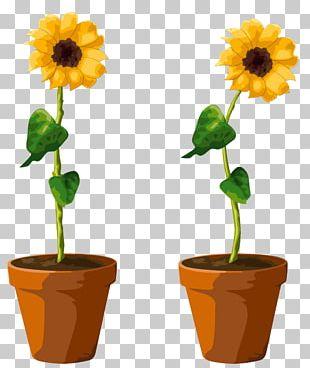 Common Sunflower Flowerpot Illustration PNG