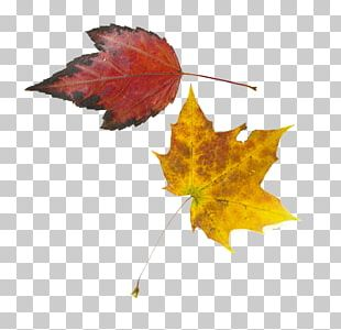 Maple Leaf Yellow PNG