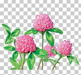 Herbal Tea Red Clover Dietary Supplement Herbal Tea PNG