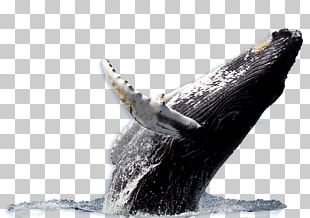 Humpback Whale Blue Whale Whale Watching Whaling PNG