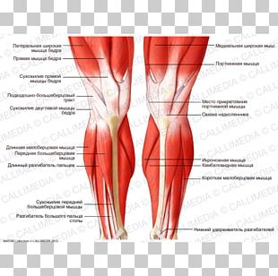 Knee Human Body Muscle Human Leg Muscular System PNG